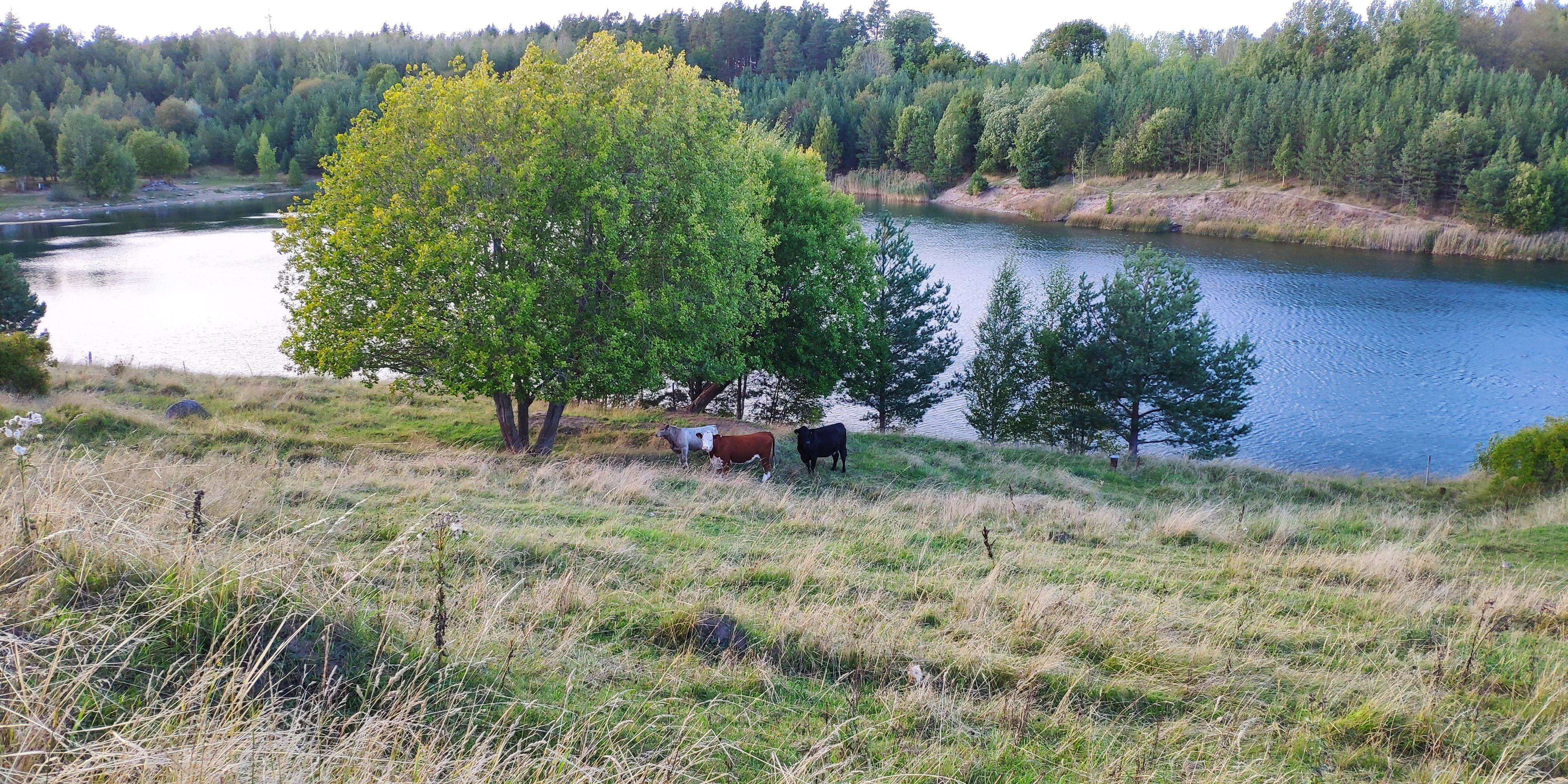 Vaches suédoises